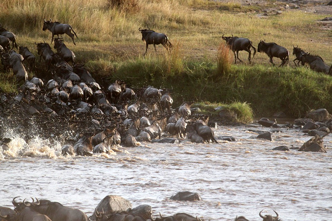 wildebeest migration, river