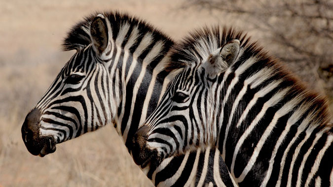 two zebra, wildlife