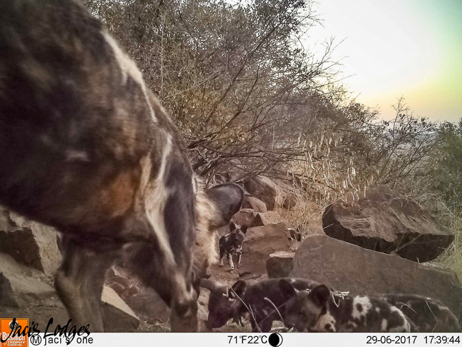 wild dogs and puppies, camera trap, Jaci's Lodges, Madikwe, South Africa