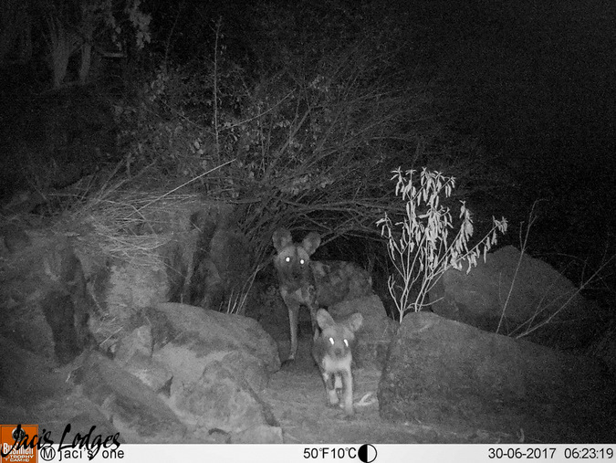 wild dogs, camera trap night, Jaci's Lodges, Madikwe, South Africa