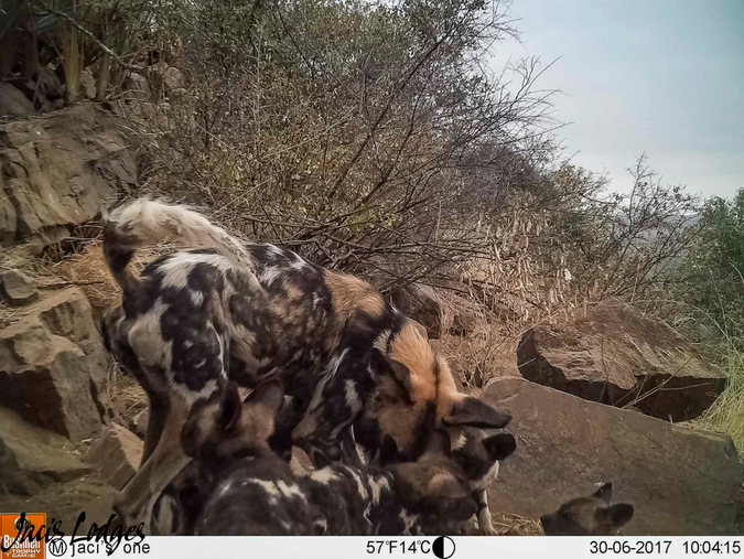 wild dogs, camera trap, Jaci's Lodges, Madikwe, South Africa