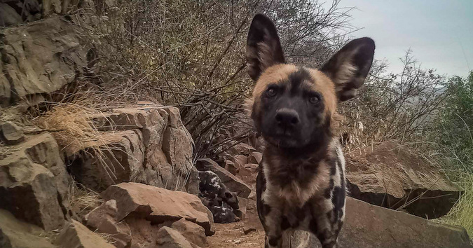 wild dog, camera trap, Jaci's Lodges, Madikwe, South Africa