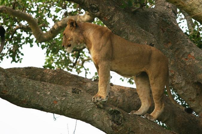 lion in a tree, Ishasha, Queen Elizabeth National Park, Uganda