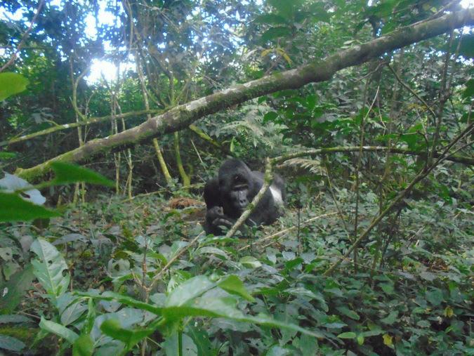 mountain gorilla, silverback, Uganda