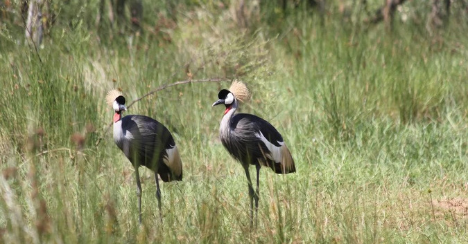 two grey crowned cranes, birds, iSimangaliso Wetland Park, South Africa