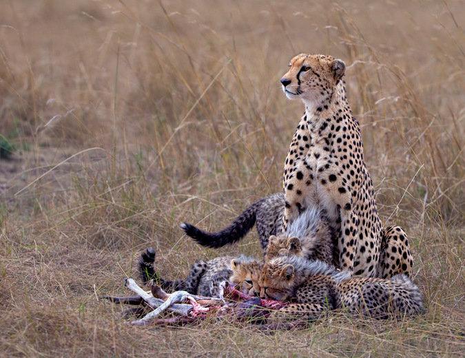 cheetah with cubs, Tanzania