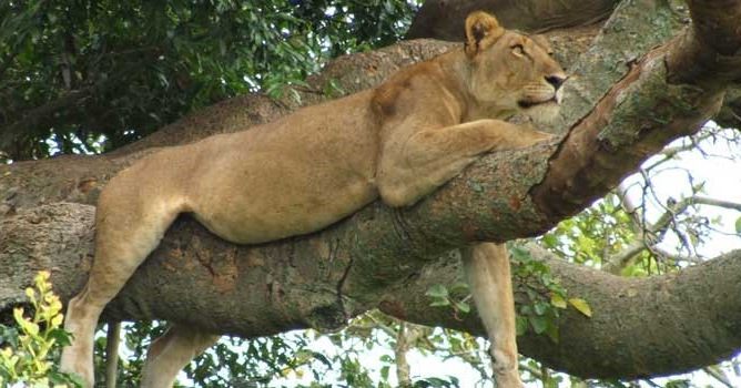 lion in a tree, Ishasha, Queen Elizabeth National Park, Uganda