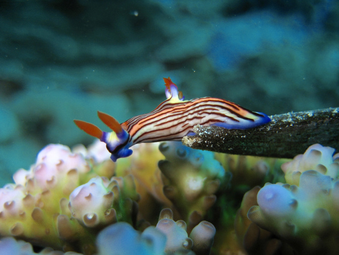 nudibranch, mollusc, ocean, marine life, Mafia Island, Tanzania