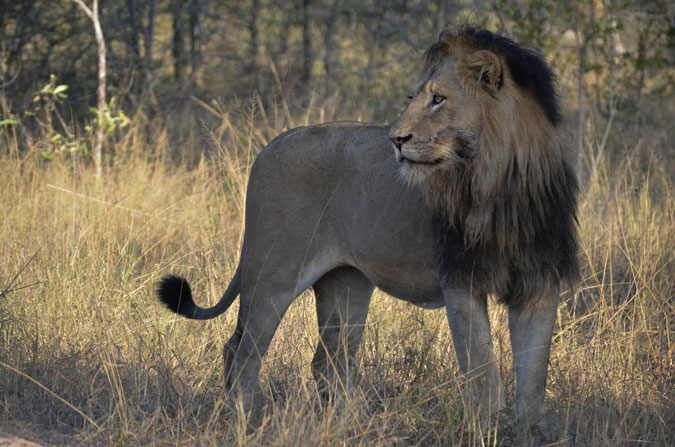 male lion, Sabi Sands Game Reserve, South Africa