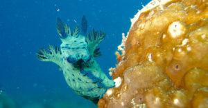 beautiful blue nudibranch
