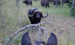 horseback safari, buffalo, South Africa