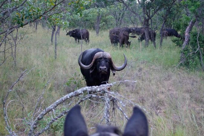 horseback safari, buffalo, South Africa