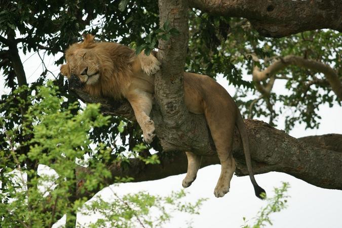 lion sleeping in a tree, Ishasha, Queen Elizabeth National Park, Uganda
