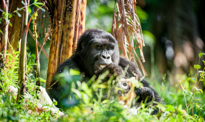 gorilla, forest, Uganda