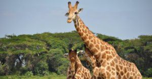 giraffes, wildlife, Africa