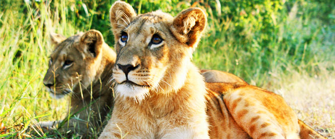 lion, wildlife