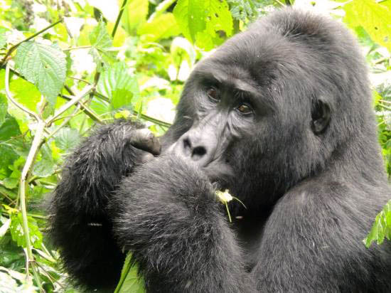 mountain gorilla, eating, forest