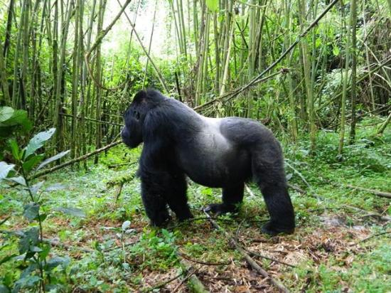 mountain gorilla, silverback, forest