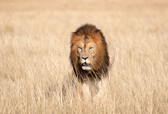 male lion walking, Maasai Mara, Kenya