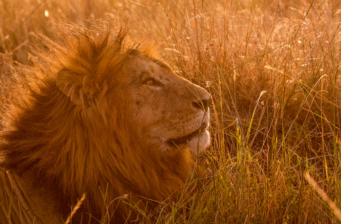 male lion, sunset, Maasai Mara, Kenya