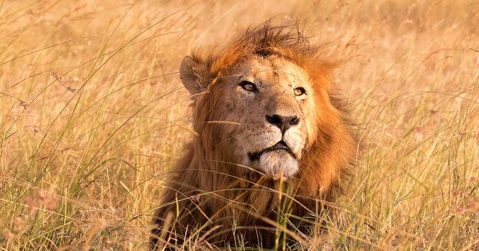 male lion, grassland, Maasai Mara