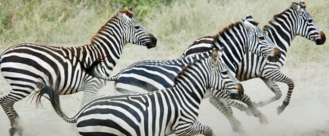 zebra, wildlife
