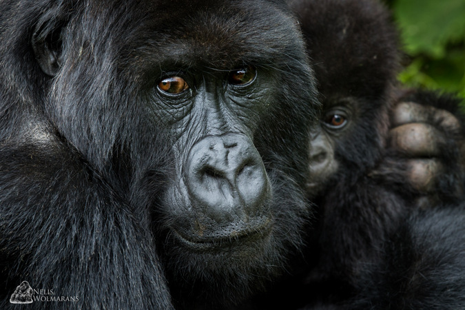 adult and infant gorilla, Rwanda
