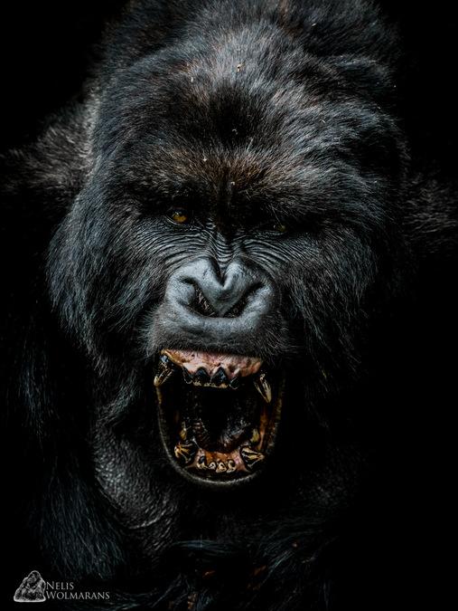 Giraneza yawning, silverback gorilla, portrait, Rwanda