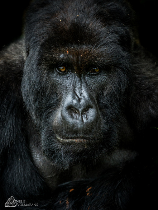 Giraneza, silverback gorilla, portrait, Rwanda