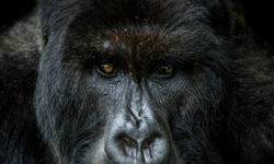 Giraneza, silverback gorilla, Rwanda