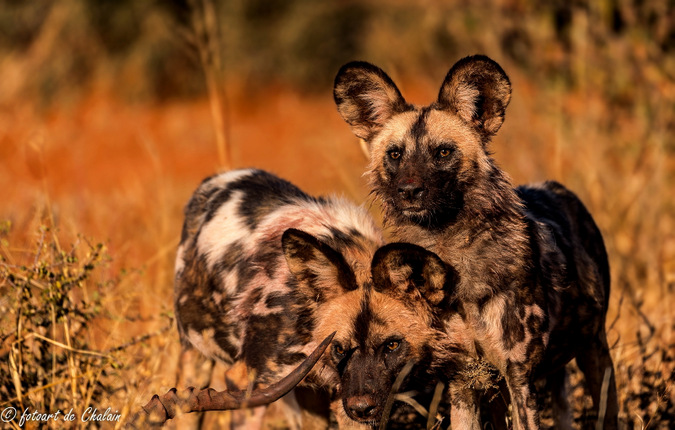 wild dogs, Madikwe, South Africa