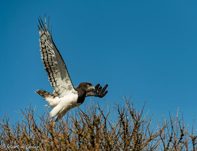 black-chested snake eagle, bird of prey, Madikwe, South Africa
