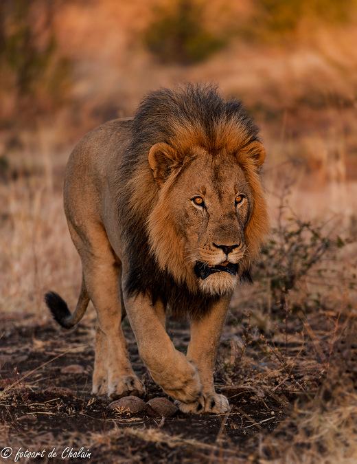 male lion, walking, Madikwe, South Africa