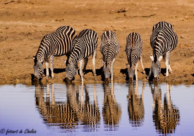zebra, waterhole, Madikwe, South Africa