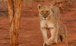 lioness, walking, Madikwe, South Africa