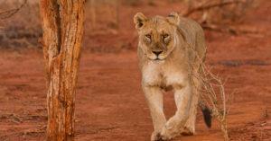 lioness, walking, Madikwe, South Africa