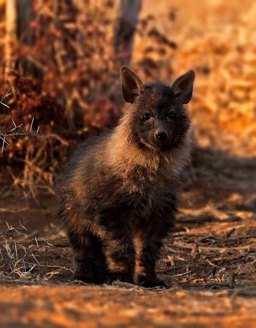 brown hyena cub, Madikwe, South Africa
