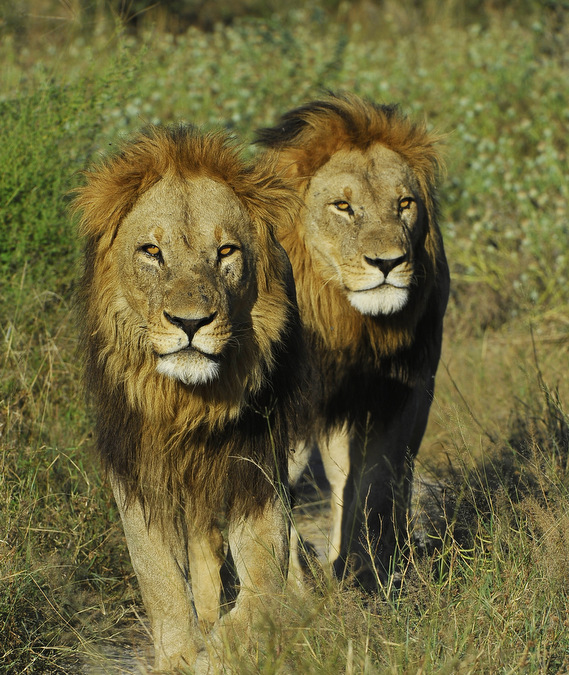 two lions, male, Africa
