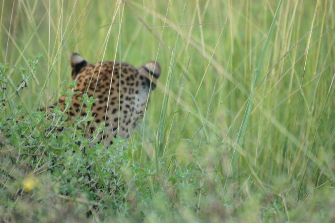leopard, grass, South Luangwa, Zambia