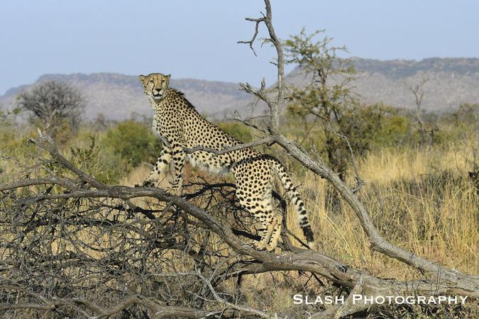 cheetah, wildlife, Jaci's Lodges, Madikwe, South Africa