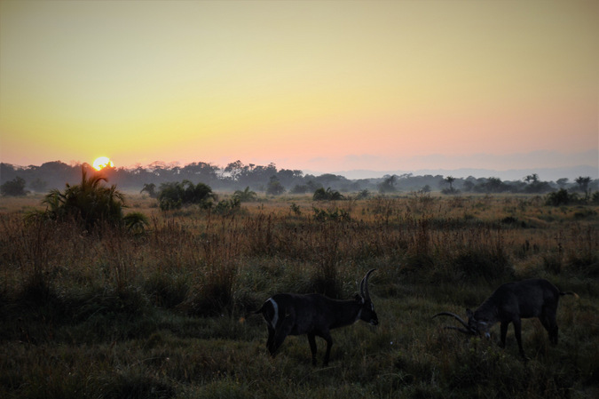waterbuck, territorial fighting, sunrise