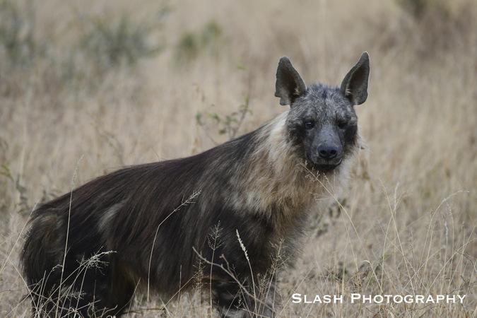 hyena, wildlife, Jaci's Lodges, Madikwe, South Africa