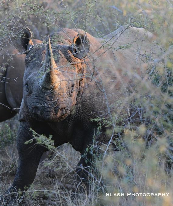 black rhino, wildife, Jaci's Lodges, Madikwe, South Africa