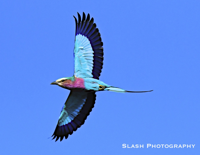lilac-breasted roller, bird, Jaci's Lodges, Madikwe, South Africa