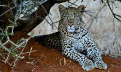 leopard, wildlife, Jaci's Lodges, Madikwe, South Africa