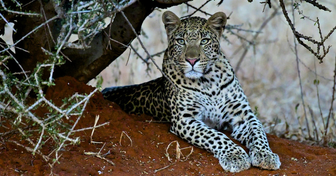 leopard, wildlife, Jaci's Lodges, Madikwe, South Africa