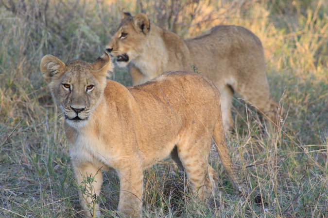 two lion cubs, wildlife