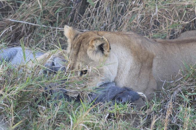 lioness, hunt, warthog