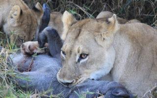 lioness with warthog kill © Glen Stephen