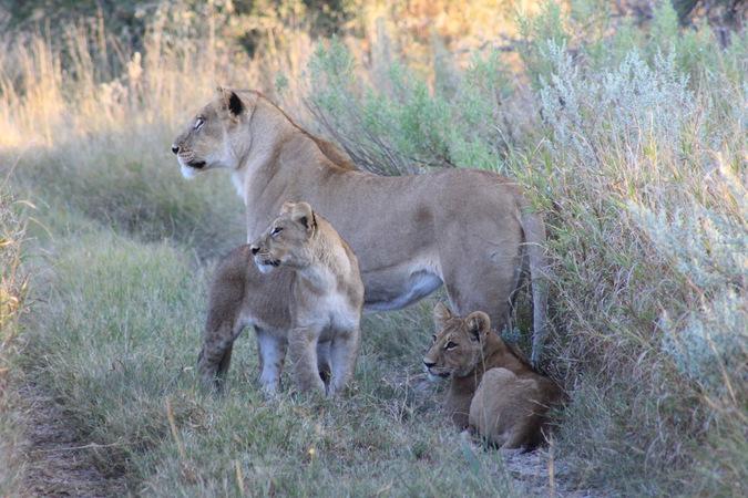 lioness, lion cubs, wildlife